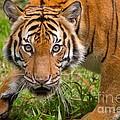 Endangered Species Sumatran Tiger by Louise Heusinkveld