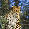 Endantered Leopard by D Robert Franz