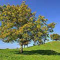 English Black Walnut Tree Switzerland by Thomas Marent