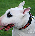 English Bull Terrier by Les Palenik