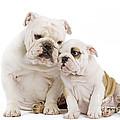 English Bulldog, Adult And Puppy by Jean-Michel Labat