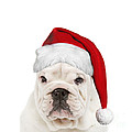 English Bulldog In Christmas Hat by Jean-Michel Labat