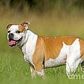 English Bulldog by M. Watson