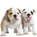 English Bulldog Puppies by Jean-Michel Labat