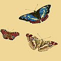English Butterflies by Philip Ralley