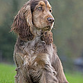 English Cocker Spaniel Dog by Johan De Meester