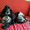 English Cocker Spaniel On Red Sofa by Catherine Sherman