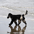 English Cocker Spaniel On The Beach by Catherine Sherman