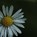 English Daisy And Rain Drops by Valerie Collins