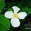 English Dogwood Blossom by Lew Davis
