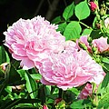 English Garden Peonies by Elaine Weiss