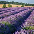 English Lavender by Brian Jannsen