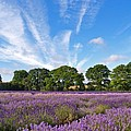 English Lavender Fields In Hampshire by Alex Cassels