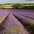English Lavender Near Alton In Hampshire by Alex Cassels