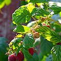 English Raspberries by Carla Parris