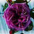 English Rose - Purple Rose - Fragrant Rose by Barbara Griffin