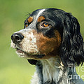 English Setter Dog by Jean-Paul Ferrero