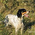 English Setter Dog by M. Watson