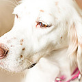 English Setter In Natural Light by Brian Caldwell