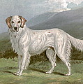 English Setter - Left by Charlie Ross