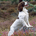English Springer Spaniel Dog by John Daniels