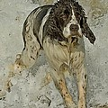 English Springer Spaniel by Larry Linton