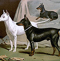 English Terriers by Charlie Ross