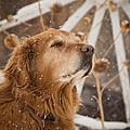 Enjoying The Moment - Golden Retriever - Casper Wyoming by Diane Mintle