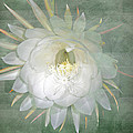 Epiphyllum Oxypetallum - Queen Of The Night Cactus by Mother Nature