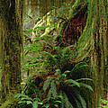 Epiphytic Sword Fern by Gerry Ellis