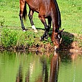 Equine Reflections by Maria Urso
