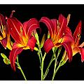 Erotic Red Flower Selection Romantic Lovely Valentine's Day Print by Navin Joshi