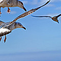 Essaouira Seagull by Tomasz Dziubinski