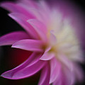 Ethereal Dahlia by Mike Reid