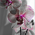 Ethereal Orchid by Bianca Nadeau