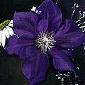Etoile Violette - Clematis by Jean Beal