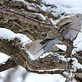 Eurasian  Collard Doves by Lori Tordsen