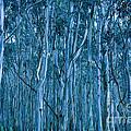 Eucalyptus Forest by Frank Tschakert