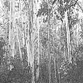 Eucalyptus Forest by Frank Wilson