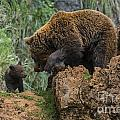 Eurasian Brown Bear 13 by Arterra Picture Library
