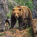 Eurasian Brown Bear 14 by Arterra Picture Library