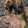 Eurasian Brown Bear 15 by Arterra Picture Library