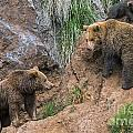 Eurasian Brown Bear 17 by Arterra Picture Library