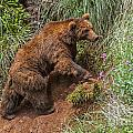 Eurasian Brown Bear 21 by Arterra Picture Library