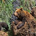 Eurasian Brown Bear 8 by Arterra Picture Library