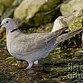 Eurasian Collared Dove by Anthony Mercieca