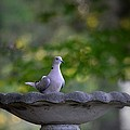 Eurasian Collared Dove by Maria Urso