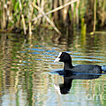 Eurasian Coot by Torbjorn Swenelius