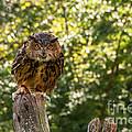 Eurasian Eagle Owl by Anthony Sacco