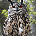 Eurasian Eagle Owl by Barbara McMahon